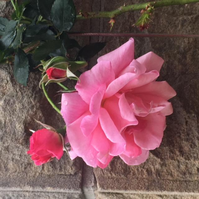Sydney royal botanic garden Rose