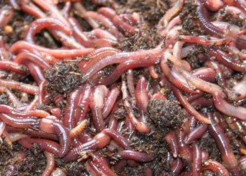 Composting Red Worms Up Close