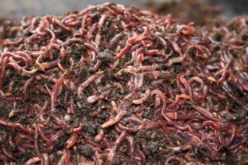 Composting Red Worms, 2 lbs
