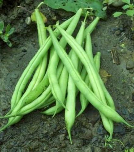 Beans, Provider (Bush) OG