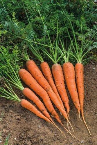 Carrot, Danver