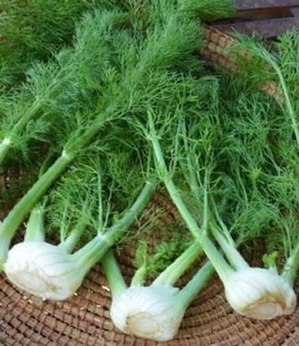 Organic Florence Fennel
