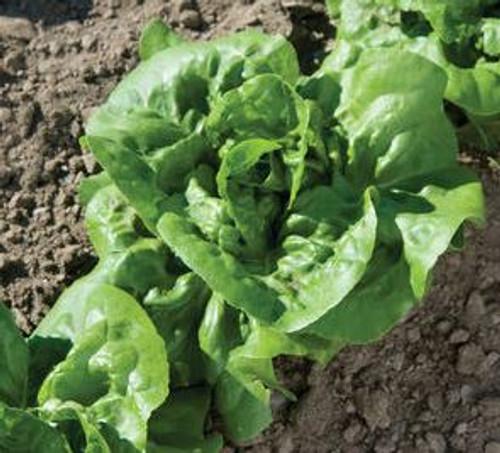 Organic Buttercrunch Lettuce