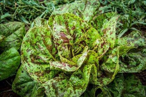 Organic Freckles Lettuce