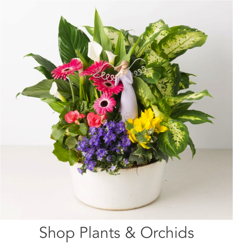 angie-s-floral-915-a-angies-always-plants-gerberas-calathea-gardenia-accent-decor-1-cflower-arrangement-chocolate-strawberries-designs-915-angies-floral-79912-designs-el-pas-o-florist-79912.png