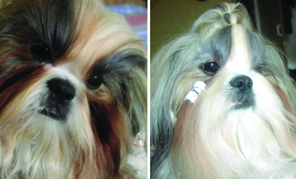 shihtzu-beforeafter-beard.jpg