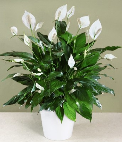"Beautiful 8"" Peace Lily in a basket is the perfect gift."
