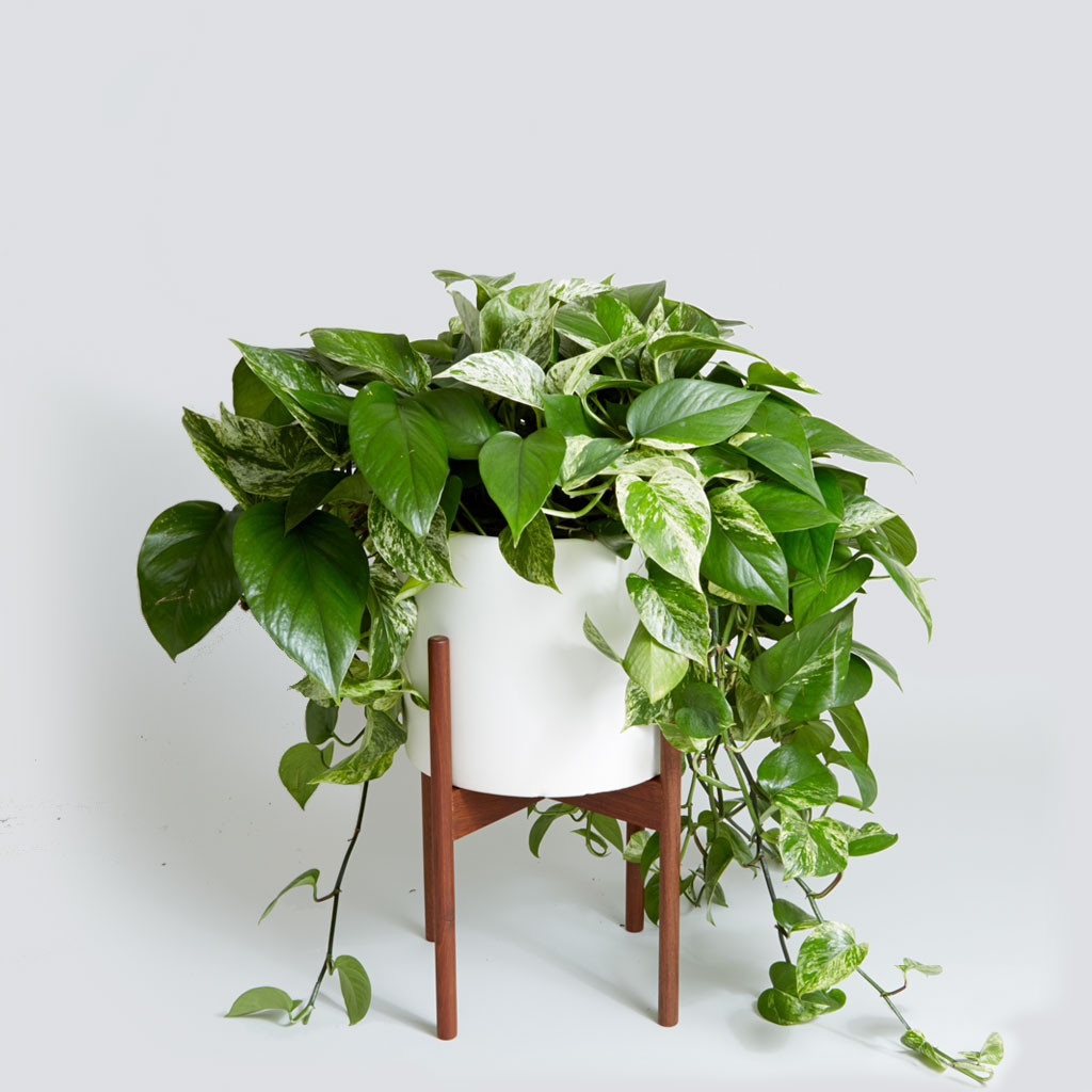 The Case Study Cylinder, Variegated Pothos