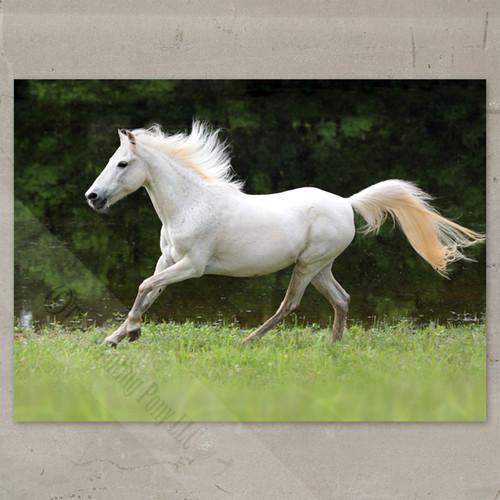 Galloping White Horse Fine Art Equestrian Print