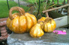 Cinderella Pumpkins Set of 3