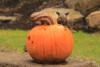 Mickey Mo Pumpkin