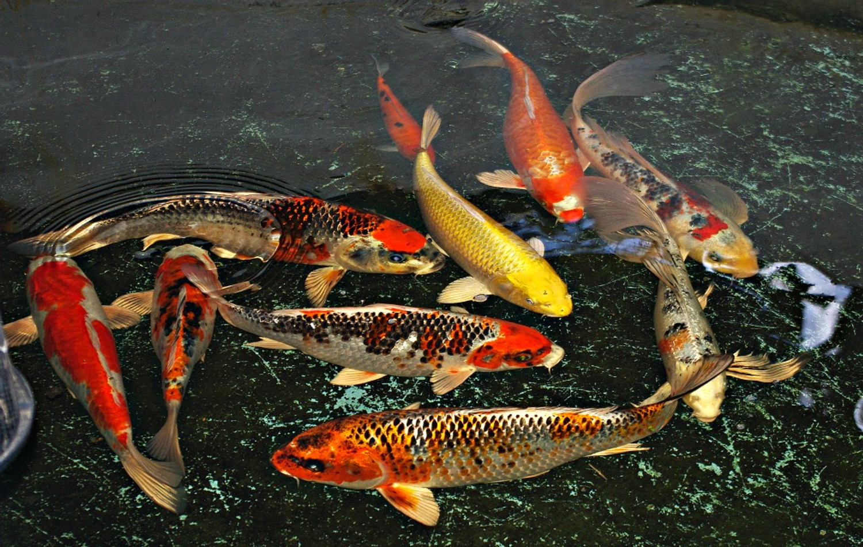 How to buy japanese koi windsor fish hatchery online for Koi pond zoning