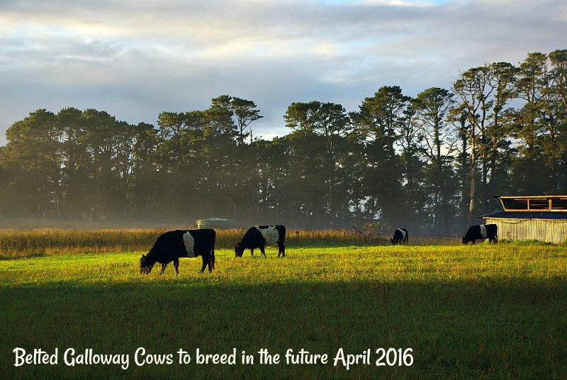 30-dec-belted-galloway-cows-to-breed-in-the-future-april-2016.jpg