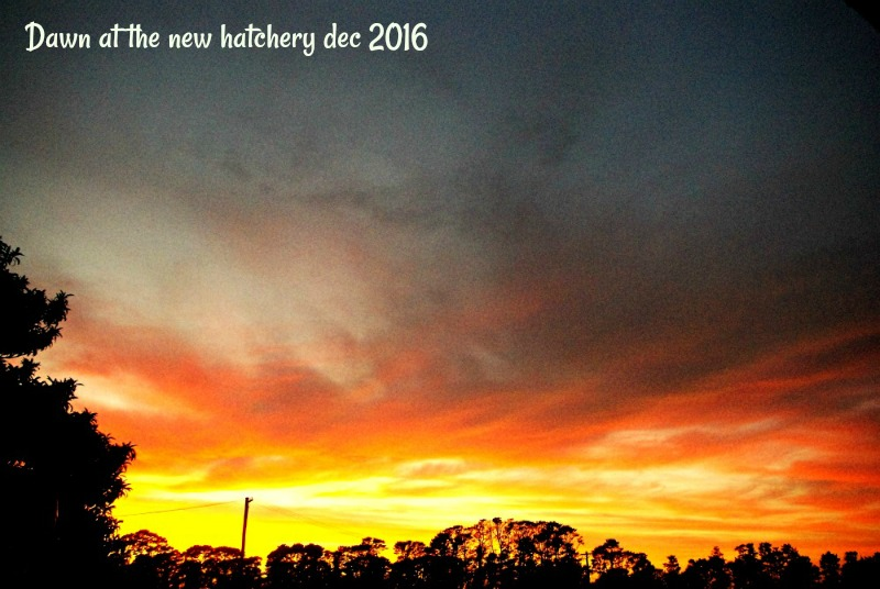 30-dec-dawn-at-the-new-hatchery-2016.jpg