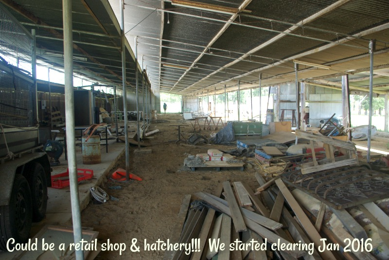 31-dec-we-starting-clearing-the-50mtrs-shed-for-the-retail-shop-hatchery-jan-2016.jpg