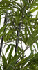 Bamboo Leaves and Cane