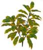 """A-18402034"""" Outdoor Croton Bush x 3"""