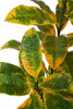 Close Up of Large Croton Leaves in Green and Yellow Mix