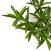 Close Up of Plastic Podocarpus Leaves