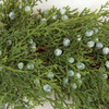 Close Up of Juniper Foliage and Blue Berries