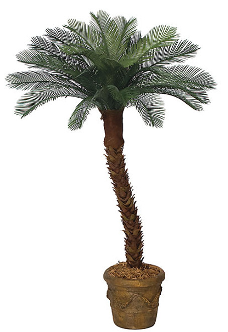 4 to 10 Feet  Cycas Palm Tree x 24 Fronds, Curved Or Straight Trunk