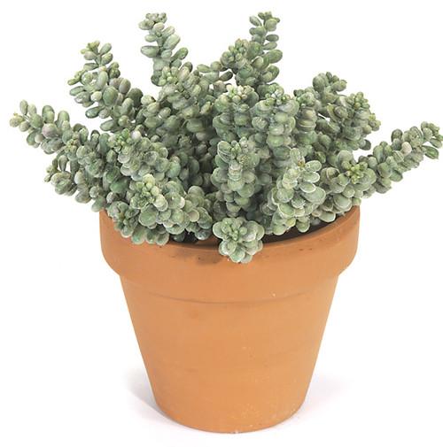 "7"" Fat Sedum Bush - Decorative Pot Sold Separately"