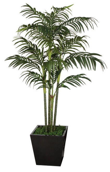 10 Foot Golden Cane Palm Tree x 4 ( 5' Tall, 7' Tall, and 10' Tall)