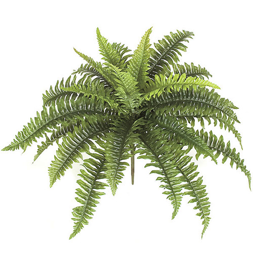 18 Inch Boston Fern