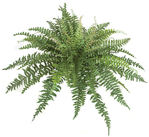 24 Inch Boston Fern