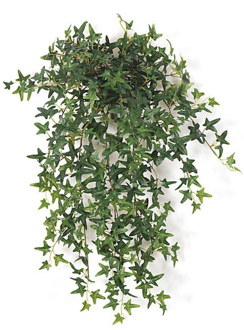 """P-6138130"""" English Ivy Bush"""