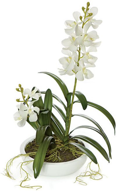 20 Inch Potted Vanda Orchid Plant