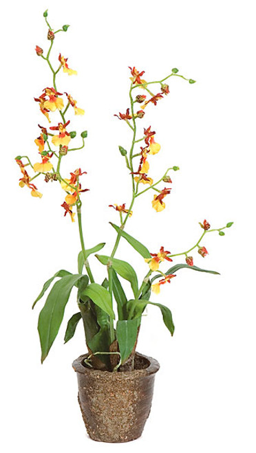 18 Inch Potted Cymbidium Plant