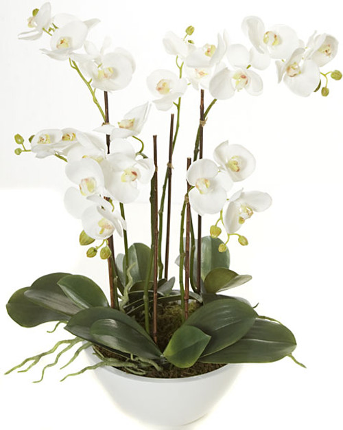 24 Inch Potted Phalaenopsis Plant