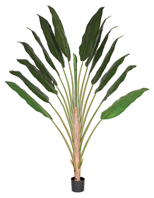 P-1506508' Traveller Palm Tree