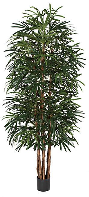 W-602688' Lady Palm Tree