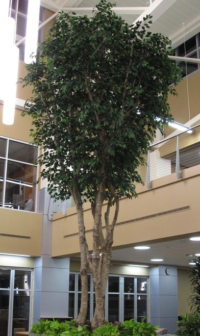 G-2020' Ficus TreeCustom-MadeCommercial  Grade