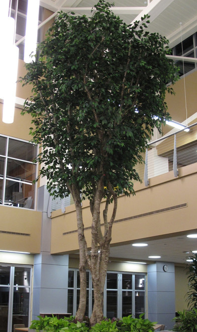 10 Foot Custom Commercial Ficus Tree