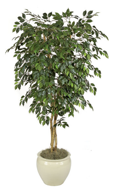 7' Custom-Made Ficus Tree