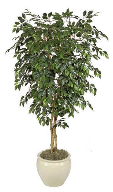 7 Foot Custom Ficus Tree  on Natural Wood Trunk