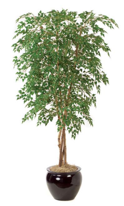 7  Foot Silver Birch Tree
