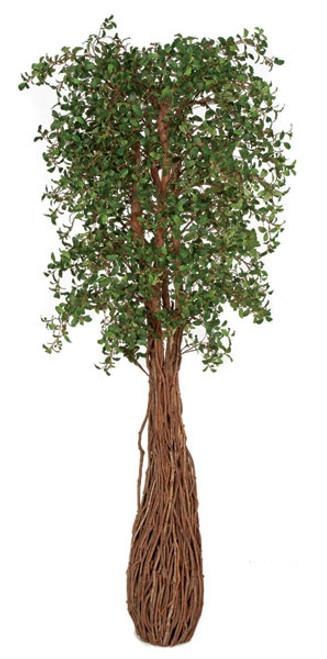 W-1501007' Live Oak TreeNatural Trunks