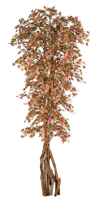 7  Foot Japanese Maple with Exotic Wood Trunk