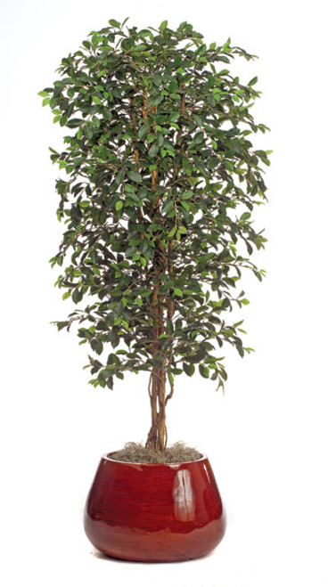 W-500206.5' Ficus Retusa TreeDecorative Pot Sold Separately