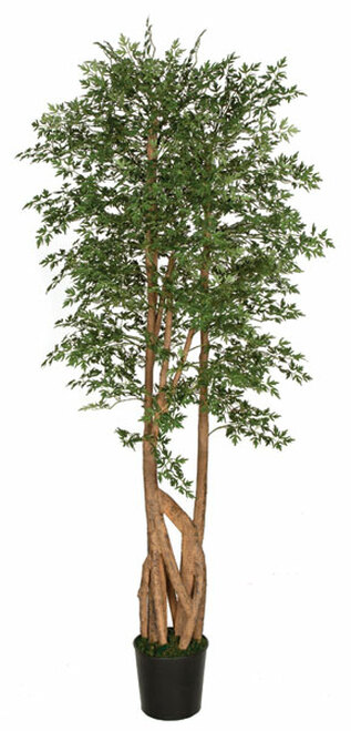 6.5 Foot Ming Aralia Tree