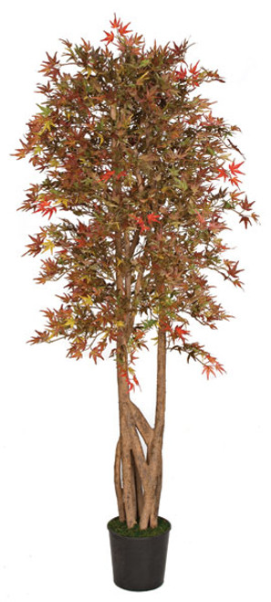 6.5 Foot Mini Japanese Maple Tree