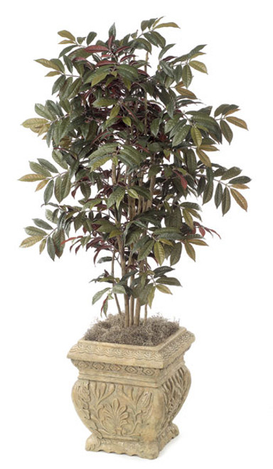 W-23804.5' Capensia TreeGreen/Red LeavesDecorative Pot Sold Separately