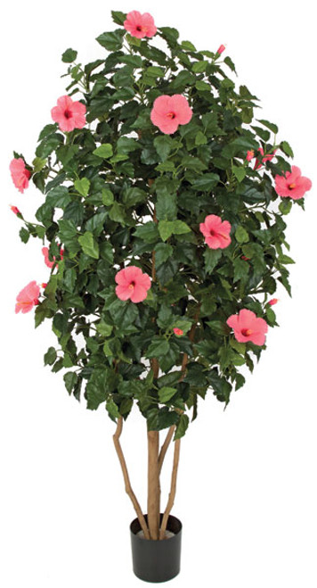 5.5 Foot Hot Pink Hibiscus Tree