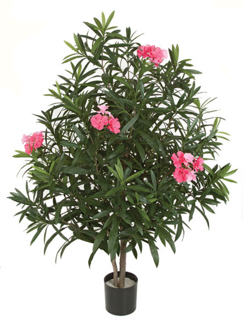 4.5 Foot Flowering  Pink Oleander Tree