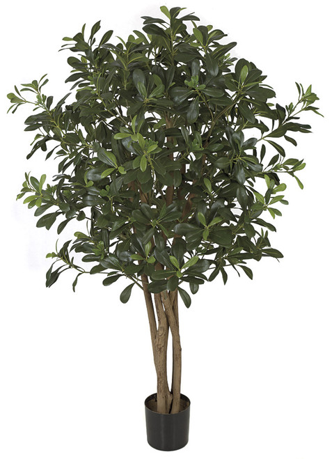 4 Foot FR Pittosporum Tree
