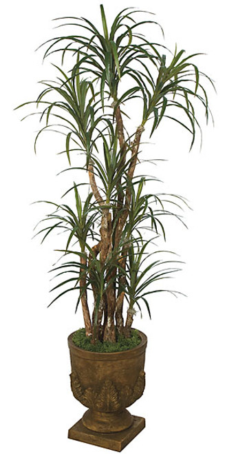 6 Foot Dracaena Marginata